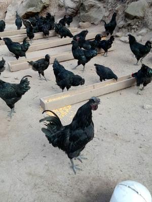 四川达州山地乌骨鸡 3-4斤