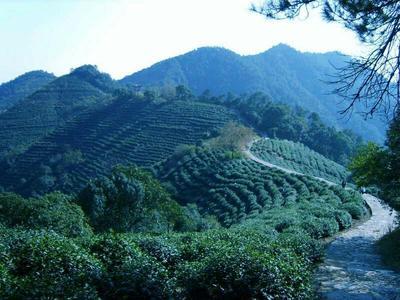 广西贺州茶叶籽