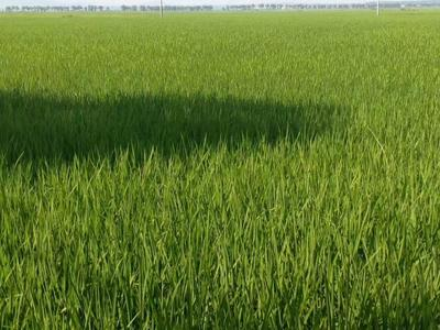 黑龙江哈尔滨稻花香大米 一等品 早稻 绿色食品