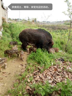 安徽安庆生态野猪 120斤以上 统货