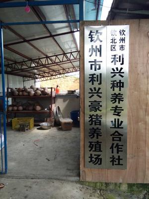 广西钦州中华豪猪 20-30斤