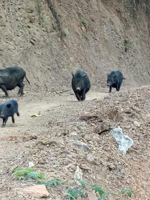 湖南郴州藏香猪 20-40斤
