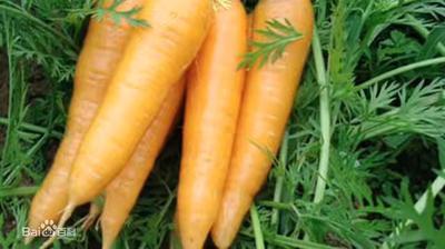 山东省青岛市平度市长红胡萝卜 15cm以上 5两以上 4~5cm