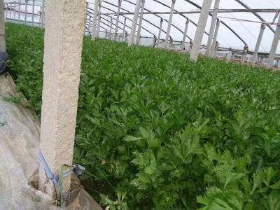 山东省东营市利津县山芹 50~55cm 大棚种植 0.5斤以下