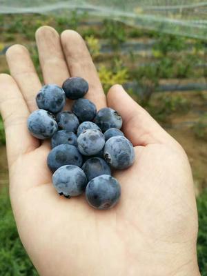 山东泰安兔眼蓝莓苗