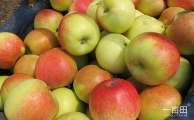 这是一张关于嘎啦苹果 60 - 70mm 表光 光果的产品图片