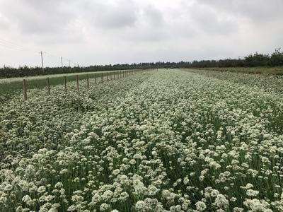山西省运城市盐湖区韭菜花 头茬 20cm以下