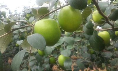 这是一张关于台湾大青枣苗 蜜丝枣南方盆栽地栽苗包正品包结果包邮。的产品图片