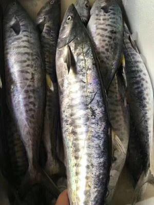 广东潮州咸鱼 12-18个月