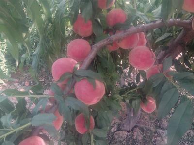 山西运城水蜜桃 70mm以上 4两以上
