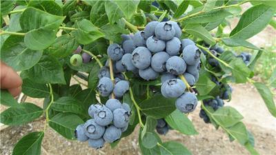 山东泰安杜克蓝莓苗