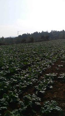 河南省三门峡市湖滨区791罐萝卜 1~1.5斤