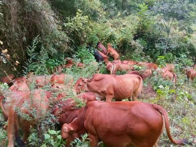 陕西安康原生态黄牛 600-800斤 公牛