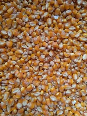 山东临沂玉米干粮 杂质很少 水份14%-16% 霉变≤1%
