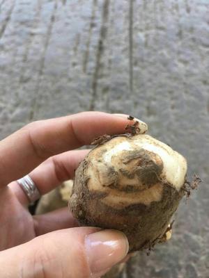 湖北孝感白芋 6cm以上