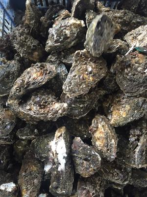 广东潮州汫洲大蚝 5-10只/公斤 人工殖养