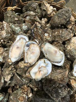 这是一张关于北海牡蛎 人工殖养 5-10只/公斤的产品图片