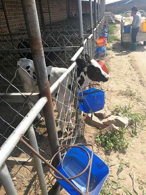 山西忻州黑白花奶牛 200斤以下 公牛