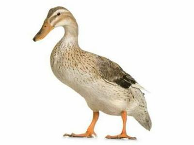 湖南常德蛋鸭 2-3斤 母