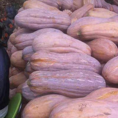 安徽亳州蜜本南瓜 4~6斤 长条形