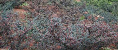 这是一张关于陇南花椒 一级 干花椒的产品图片