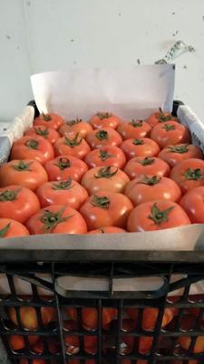 湖北宜昌大粉果番茄 硬粉 弧三以上 不打冷