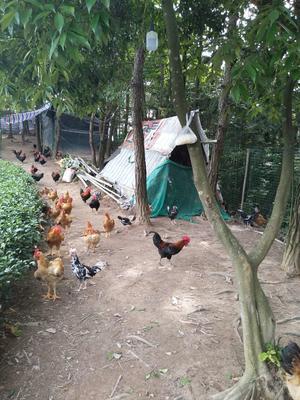 福建宁德贵妃鸡 2-3斤