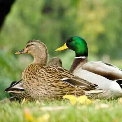 江西南昌绿头鸭 鄱阳湖生态绿头野鸭