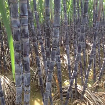 广西玉林黑金刚甘蔗 2 - 2.5m 4 - 5cm