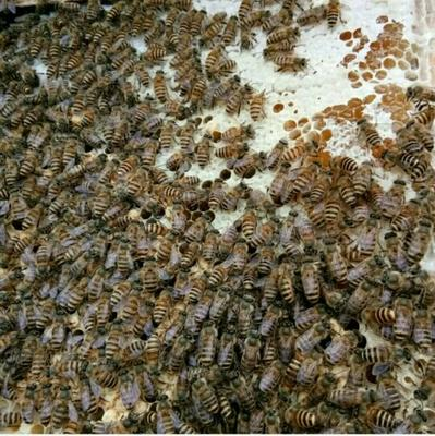 甘肃临夏土蜂蜜 98% 2年以上 盒装