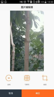 陕西西安户县七叶树