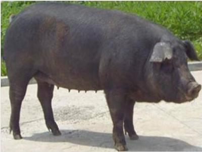这是一张关于土猪 160斤以上 主土黑猪220以上的产品图片