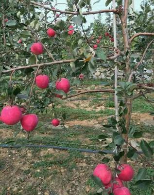 红将军苹果苗 1~1.5米