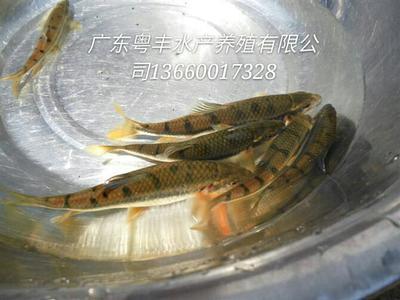 广东广州淡水青鱼 人工养殖 0.1龙8国际官网官方网站