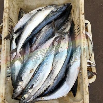 山东威海东海带鱼 野生 1-1.5公斤