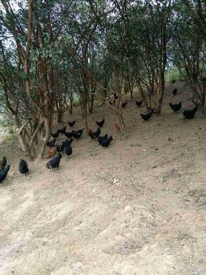 广西河池五黑鸡 2-3斤 统货