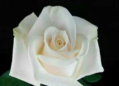 这是一张关于白玫瑰的产品图片