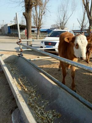 这是一张关于西门塔尔牛 200-300斤 母牛的产品图片