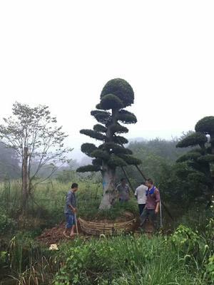 湖南长沙造型景观树