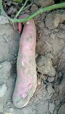 吉林省四平市梨树县红薯 10-15cm