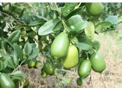 广西钦州灵山县香水柠檬苗