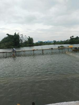 广西柳州建鲤 人工养殖 1-2.5公斤