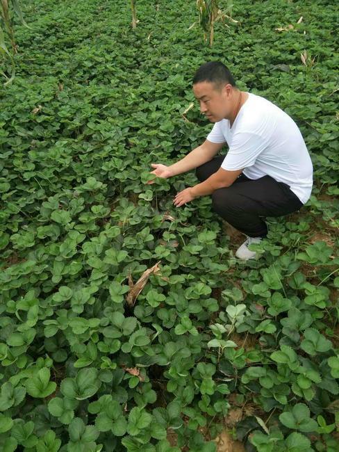 白草莓 地栽苗 10~20公分