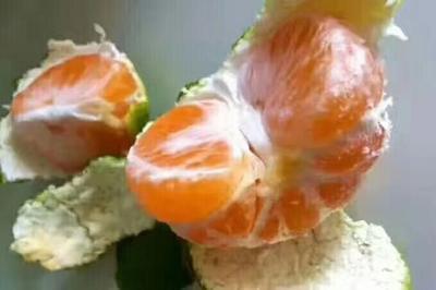 这是一张关于特早蜜桔 6 - 6.5cm 3两以上的产品图片