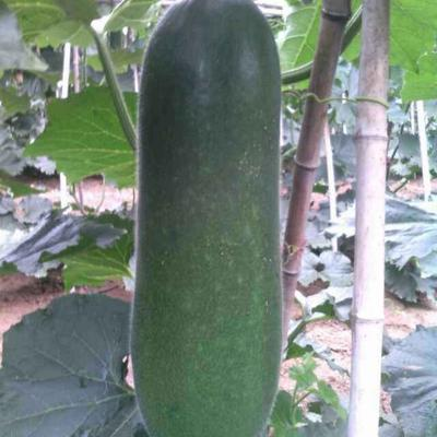 这是一张关于黑皮冬瓜 20斤以上 黑皮的产品图片