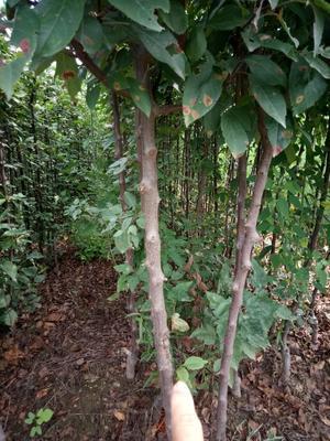 这是一张关于四季海棠的产品图片