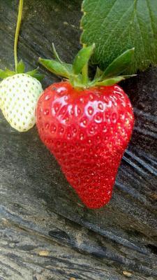 辽宁沈阳九九草莓 20克以上