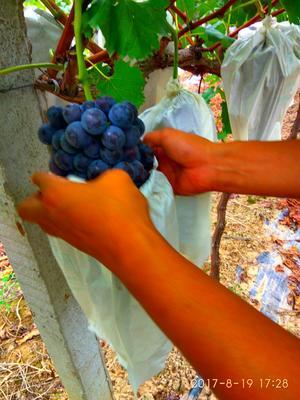 这是一张关于夏黑葡萄 2斤以上 5%以下的产品图片