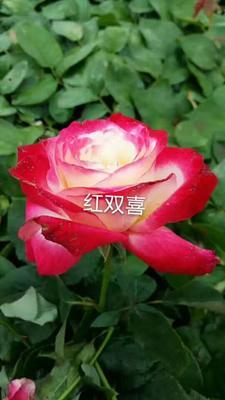 云南昆明大花月季 玫瑰花苗,香水玫瑰,香水月季花苗,玫瑰苗
