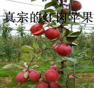 这是一张关于红心苹果苗 1~1.5米的产品图片